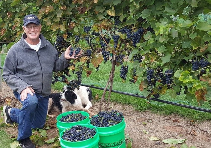 The Winemaker inspecting the grapes, with the help of the Vineyard dogs!