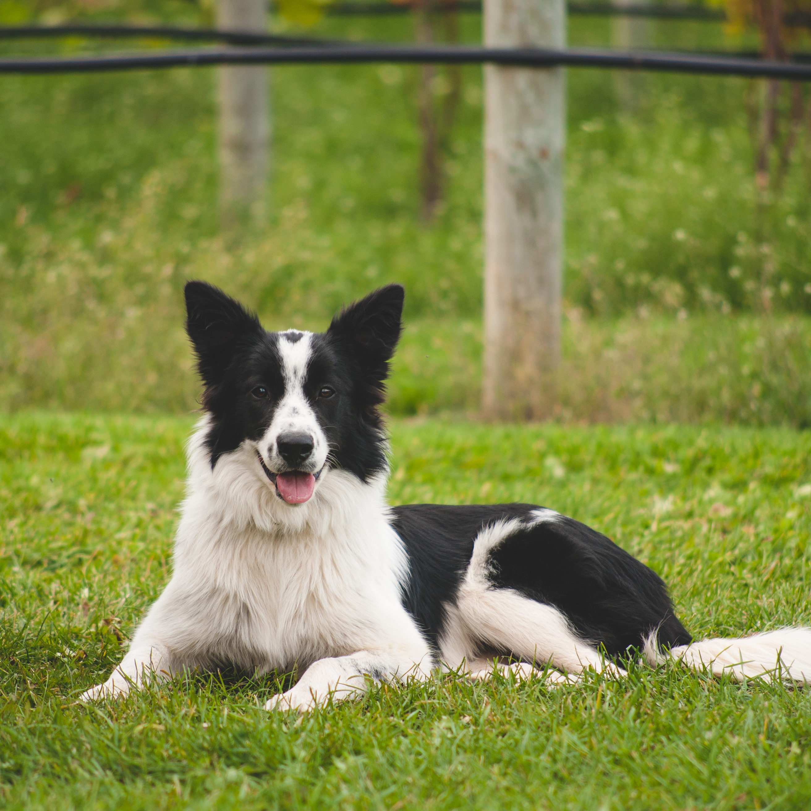 Kera, one of our Vineyard dogs, on alert, watching over the vineyard!